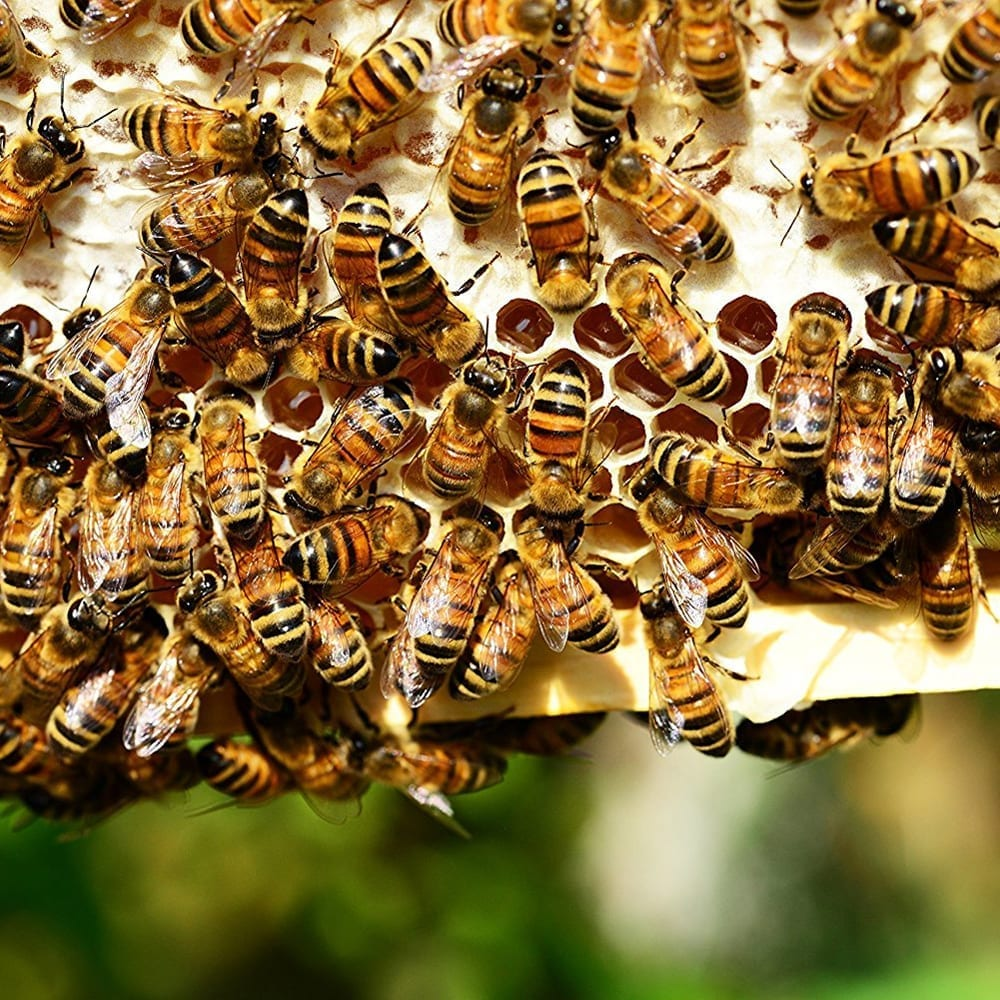 Bees on honey comb
